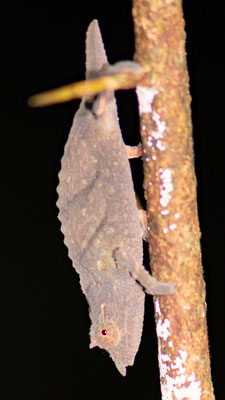 Caméléon, du genre Kinyongia