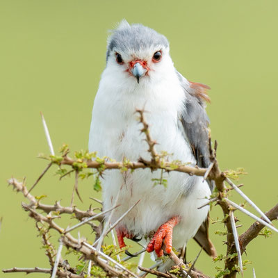 Pygmy Falcon,  Polihierax semitorquatus