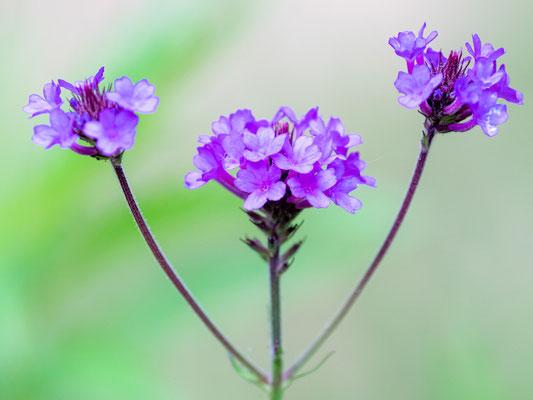 Fleur indéterminée.