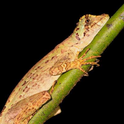 Basilic commun, Basiliscus basiliscus au repos la nuit.