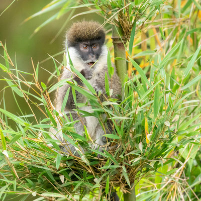 Bale Mountains vervet, Chlorocebus djamdjamensis endemic to this forest, discovered in 1967, was considered a subspecies of the Cercopthecus group until 2008, when it was finally granted species status and classified as vulnerable by the IUCN