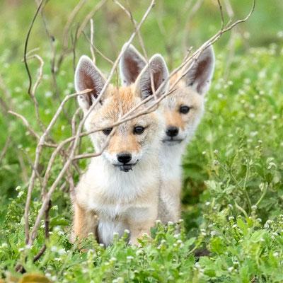 Golden jackal siblings, Canis aureus