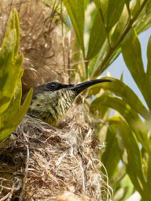 Amethyst Sunbird, Chalcomitra amethystina. Female in the nest