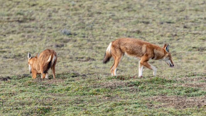 Loup d'Abyssinie, Canis simensis. Probablement une fratrie.