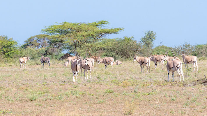 East African oryx, Oryx beisa. Awash National park