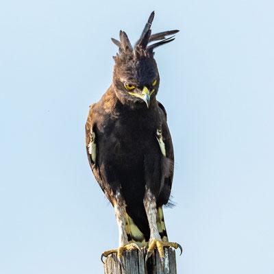 Long-crested Eagle, Lophaetus occipitalis