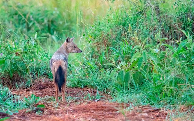 Chacal à flancs rayés, Canis adustus