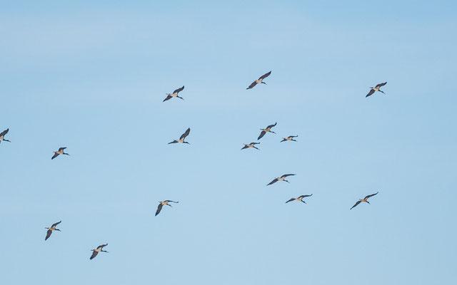Black Stork, Ciconia nigra in active migration