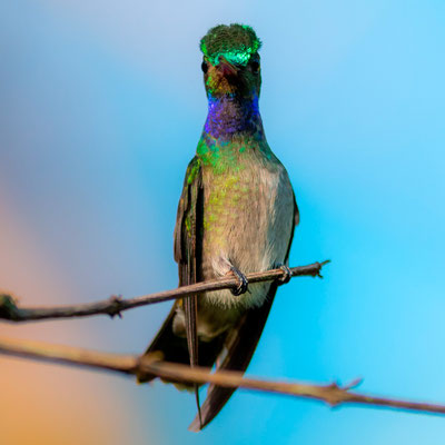 Charming Hummingbird, Amazilia decora dans le jardin du lodge de la Tarde