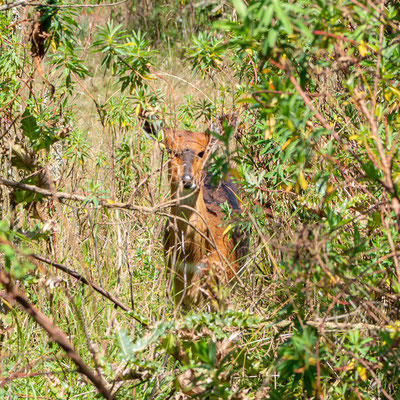 Common duiker, Sylvicapra grimmia. Dinsho. Hesitating between watching us in camouflage or running away...