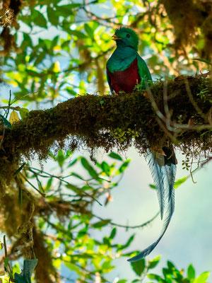 Quetzal resplendissant, Pharomachrus mocinno mâle