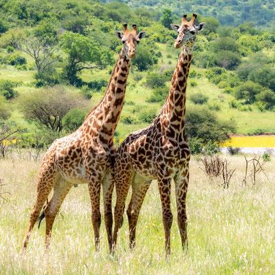 Girafe, Giraffa camelopardalis