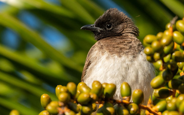One of the four subspecies of the Common Bulbul found in the country. Pycnonotus barbatus spurius