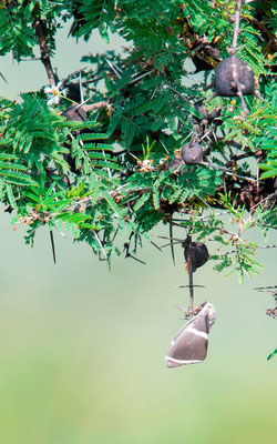 Lépidoptère indéterminé sur Acacia