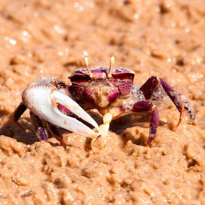 Crabe violoniste, Afruca tangeri