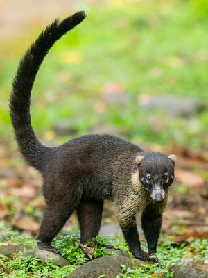 Coati à nez blanc, Nasua narica