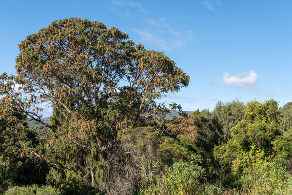 Forêt de Dinsho
