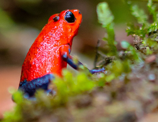 Strawberry poison frog, Oophaga pumilio