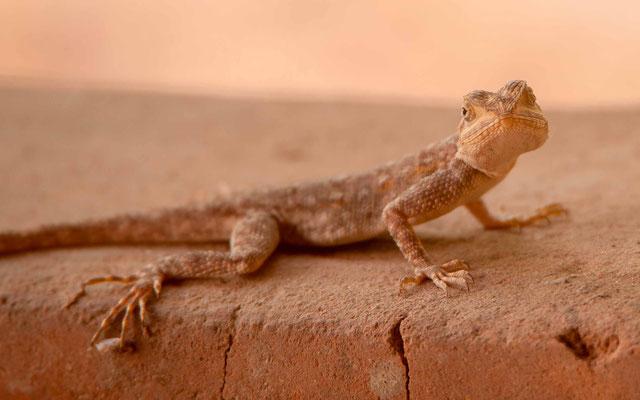 Gecko des maisons, Hemidactylus mabouia