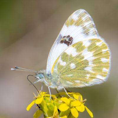 Eastern Bath white, Pontia edusa