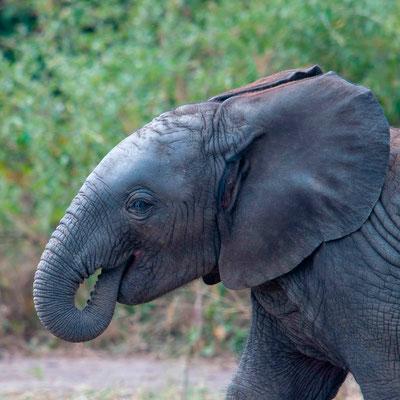 Young African bush elephant, Loxodonta africana