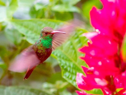 Rufous-tailed Hummingbird, Amazilia tzacatl. Most common Hummingbird in Costa Rica