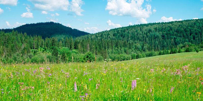 Prairies humides dans les Carpates, à la frontière avec l'Ukraine