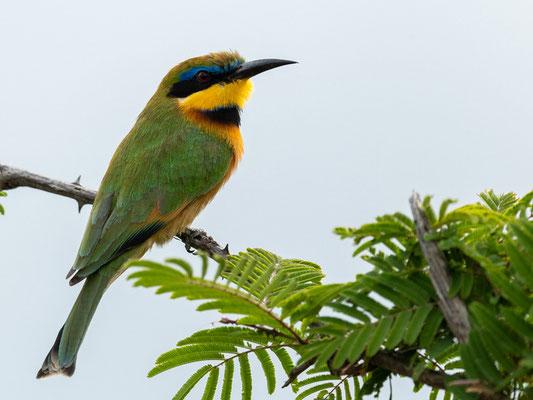 Little Bee-eater, Merops pusillus