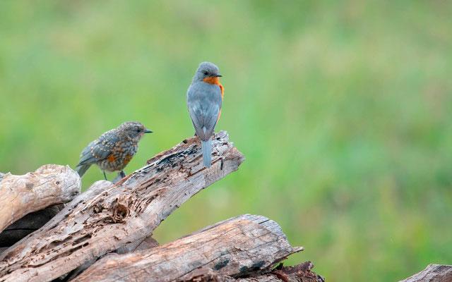 Gobemouche argenté, Empidornis semipartitus. Un adulte avec son jeune