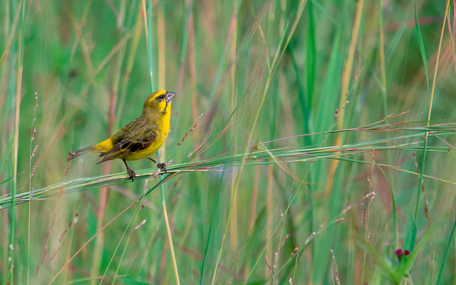 Yellow-fronted Canary, Serinus mozambicus
