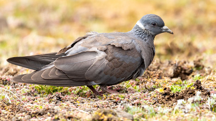 White-collared Pigeon, Columba albitorques. Endemic