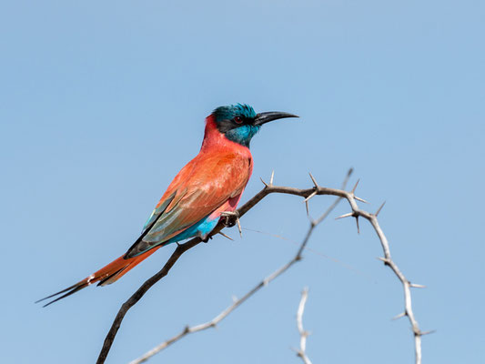 Northern Carmine Bee-eater, Merops nubicus. Aledeghi reserve