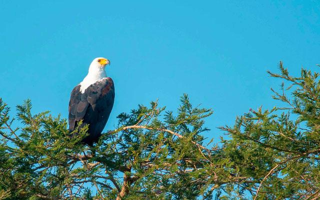 African Fish Eagle, Heliaeetus vocifer