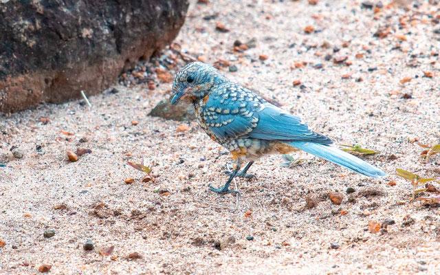 Gobemouche argenté, Empidornis semipartitus. Juvénile