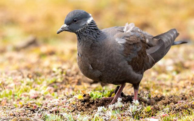 Pigeon à collier blanc, Columba albitorques. ENDÉMIQUE