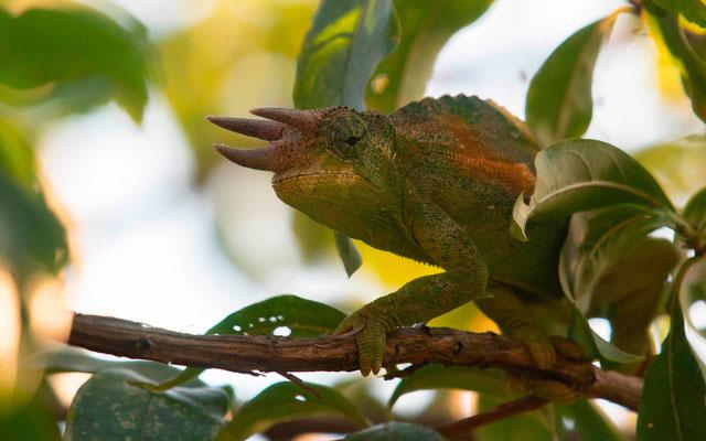 Caméléon des Rwenzoris, Trioceros johnstoni male