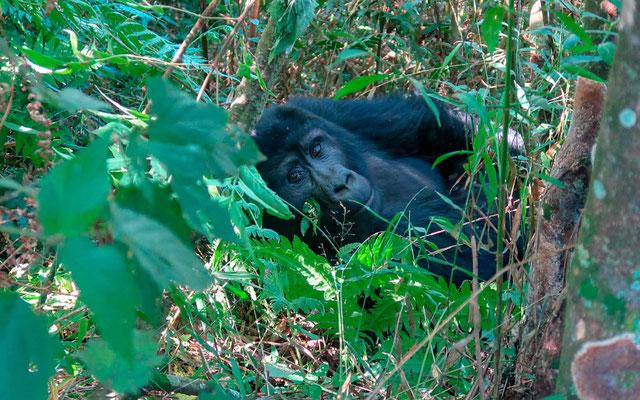 The famous Mountain Gorilla, Gorilla beringei beringei