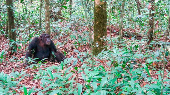 Chimpanzé, Pan troglodytes