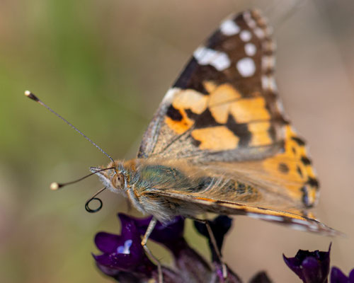 Painted lady, Vanessa cardui, thousands in migration