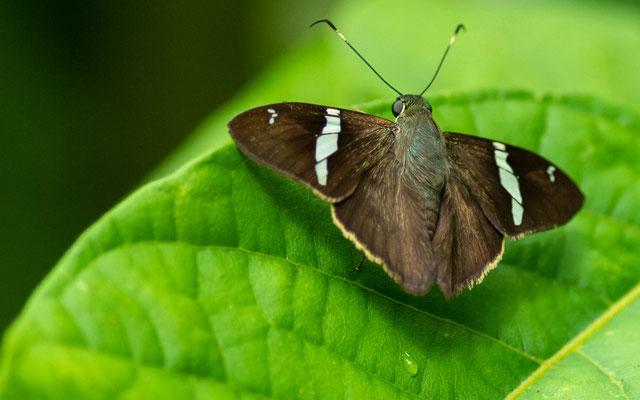 Hesperidae indéterminée