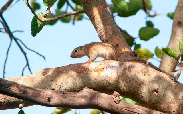 Striped ground squirrel, Xerus erythropus