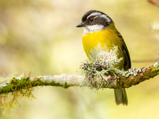 Sooty-capped Bush Tanager, Chlorospingus pileatus. Endemic of Costa Rica and Panama.