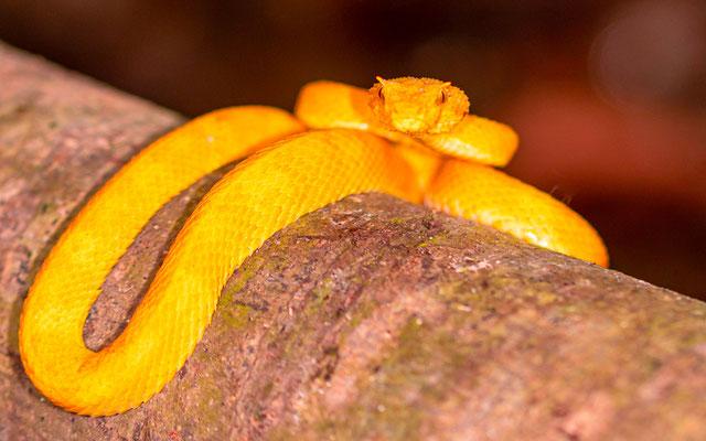 Eyelash viper, Bothriechis schlegeliiEyelash viper, Bothriechis schlegelii