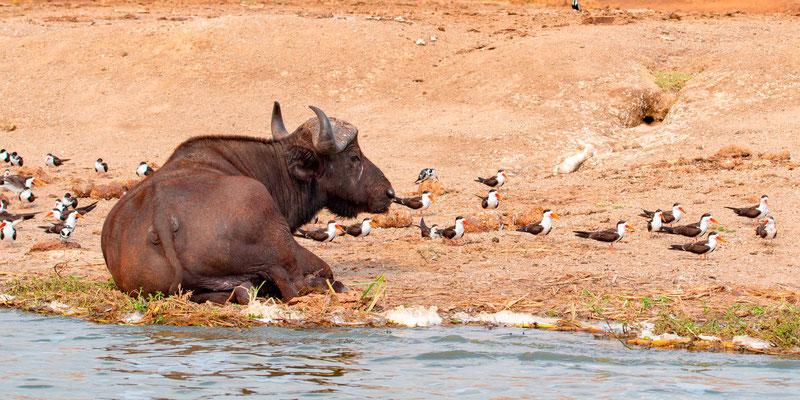 Buffle d'Afrique, Syncerus caffer entouré de Bec-en-ciseaux d'Afrique