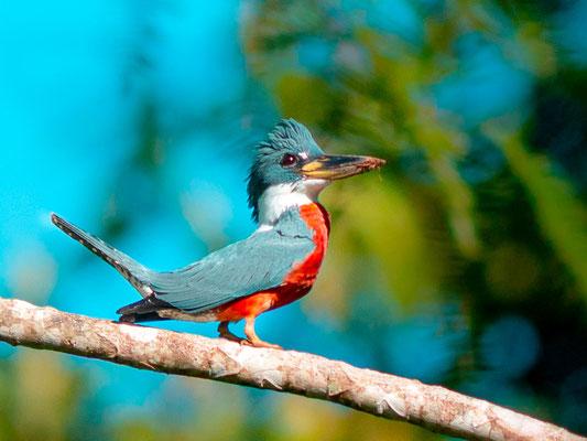 Ringed Kingfisher, Megaceryle torquata mâle