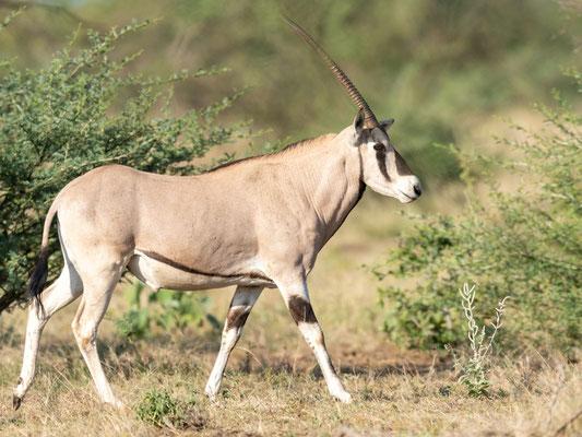 Orix beisa, Oryx beisa. Parc national d'Awash