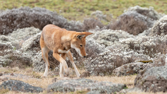 Loup d'Abyssinie, Canis simenso. En chasse.