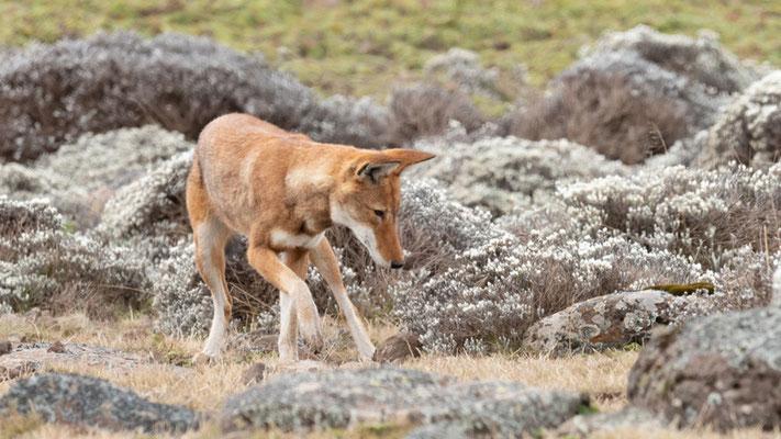 Ethiopian wolf, Canis simensis. Hunting