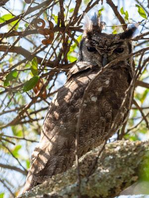 Greyish Eagle-Owl, Bubo cinerascens, 3rd individual.  Around the old Simbo Lodge