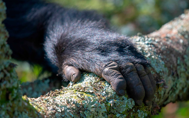 Mountain Gorilla's hand